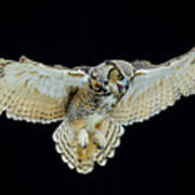 Animal - Bird - Great Horned Owl Wings Spread Poster
