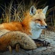 Animal - The Alert Fox  Poster