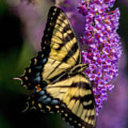 Anise Swallowtail Poster