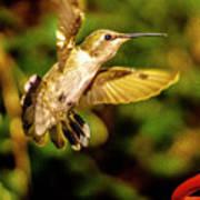 Anna Hummingbird  In Flight 1 Poster