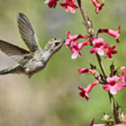 Anna's Hummingbird And The Penstemon  Poster