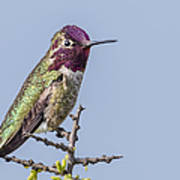 Anna's Hummingbird Perched Poster