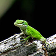 Anole 15 Poster