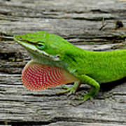 Anole 17 Poster