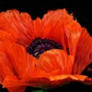 Another Red Poppy Poster