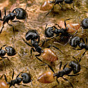 Ant Crematogaster Sp Group Poster
