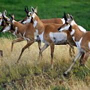 Antelope 1 Poster