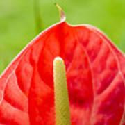 Anthurium Close-up Poster
