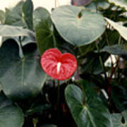 Anthurium Flower  Poster