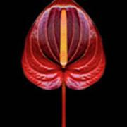 Anthurium Red Poster