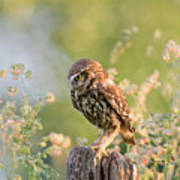 Anticipation - Little Owl Staring At Its Prey Poster