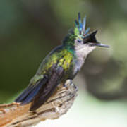 Antillean Crested Hummingbird On Stick Poster