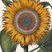 Antique Sunflower Print Poster