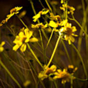 Anza Borrego Desert Sunflower 4 Poster