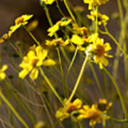 Anza Borrego Desert Sunflowers 1 Poster