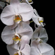 Aphrodite - White Orchid Poster