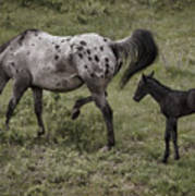 Appaloosa And Baby Poster