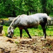 Appaloosa Eating Hay Poster