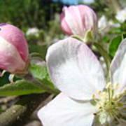 Apple Blossom Artwork Spring Apple Tree Baslee Troutman Poster