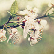 Apple Blossom Branch In Early Spring Poster by Sandra Cunningham