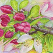 Apple Blossom Buds On A Greeting Card Poster
