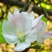 Apple Blossom Close-up Poster