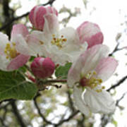 Apple Blossoms - Wild Apple Poster