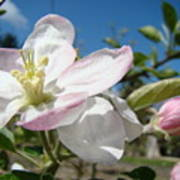 Apple Blossoms Art Prints Canvas Blue Sky Pink White Blossoms Poster
