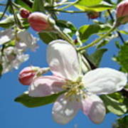 Apple Blossoms Art Prints Spring Apple Blossoms Baslee Troutman Poster