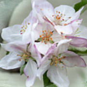 Apple Blossoms From My Hepburn Garden Poster