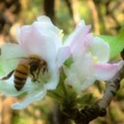 Apple Blossoms With Honey Bee Poster