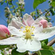 Apple Tree Blossom Art Prints Springtime Nature Baslee Troutman Poster