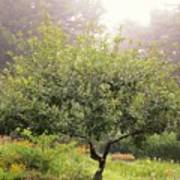 Apple Tree In The Garden Poster