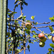 Apple Tree With Apples And Flowers. Amazing Nature Poster