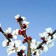 Apricot Blossoms Poster