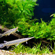 Aquarium Fish Couple In Zoo Poster