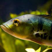 Aquarium Striped Fish Portrait Poster