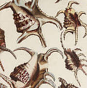 Aquatic Animals - Conch - Shells - Snails Poster