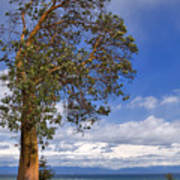 Arbutus Tree At Rathtrevor Beach British Columbia Poster