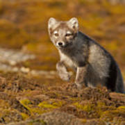 Arctic Fox Striding Out Poster