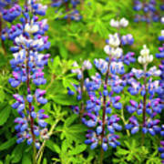 Arctic Lupine Poster