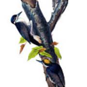 Arctic Three-toed Woodpecker Audubon Birds Of America 1st Edition 1840 Octavo Plate 268 Poster
