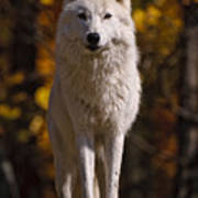 Arctic Wolf On Rocks Poster