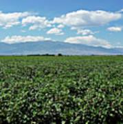 Arizona Cotton Field Poster