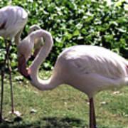 Arizona Flamingos Poster