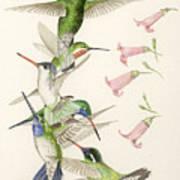 Arizona Hummingbirds Poster