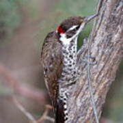 Arizona Woodpecker Poster