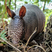 Armadillo In The Woods Poster