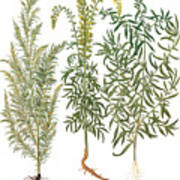 Artemisiae & Reseda Poster