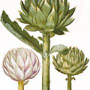 Artichoke, 1613 Poster